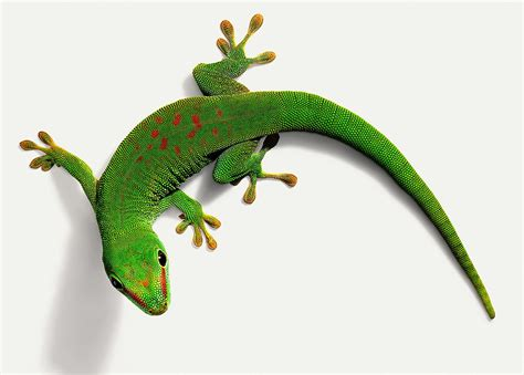 Small House Dogs what kind of care do day geckos need