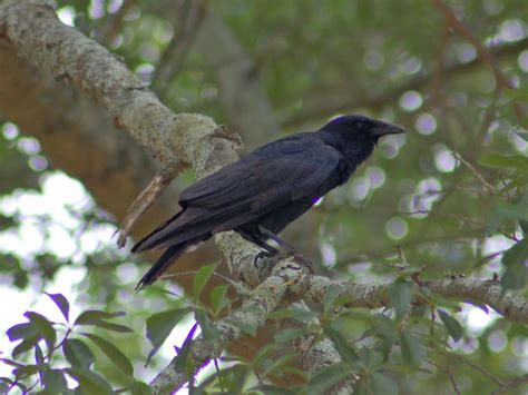 the online zoo american crow