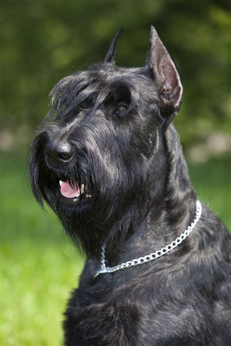 best guard breeds the 10 best guard breeds iheartdogs