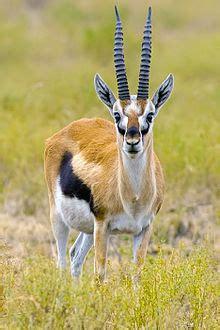 thomsons gazelle wikipedia