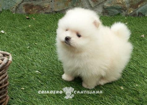 how to a spitz spitz nain blanc chien spitz nain 201 levage cantillana