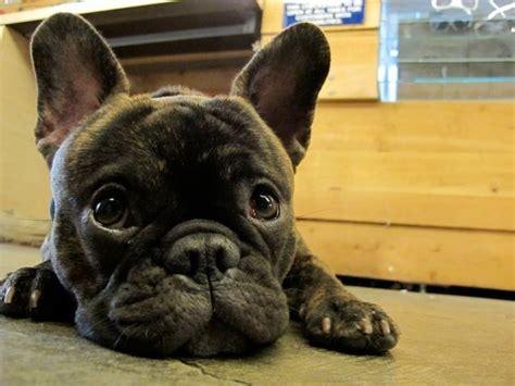 bulldog terrier puppies frenchton bulldog x boston terrier puppies breeds picture