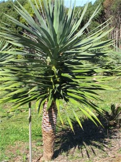 Decorative Plants For Home Dracaena Draco Dragon Tree Teven Valley Plantsteven