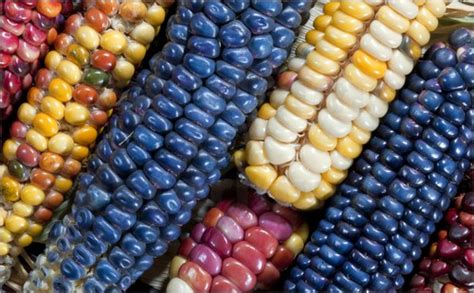 colors of corn top 28 colors of corn the color of indian corn artist