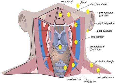 glands in the neck diagram throat anatomy diagrams diagram site