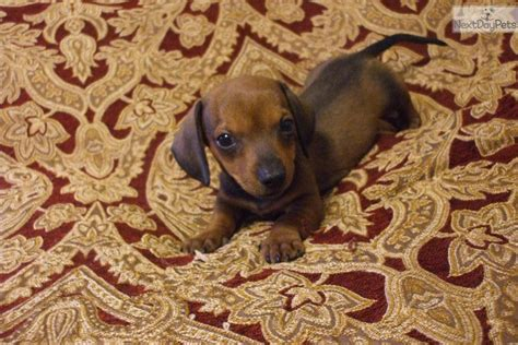 dachshund puppies for sale in birmingham al dachshund mini puppy for sale near birmingham alabama 0861a20e 0011