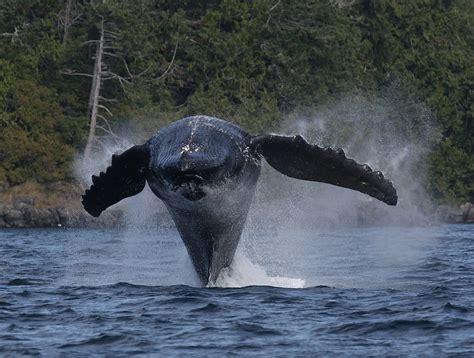 Humpback whale breaching face on 2 Megaptera novaeangliae ...