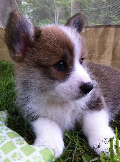 buy corgi puppy best 25 corgi puppies ideas on corgi pembroke corgi and