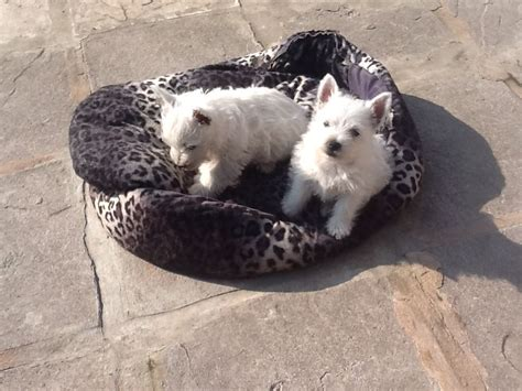 west highland puppies for sale westie puppies for sale ebbw vale blaenau gwent pets4homes