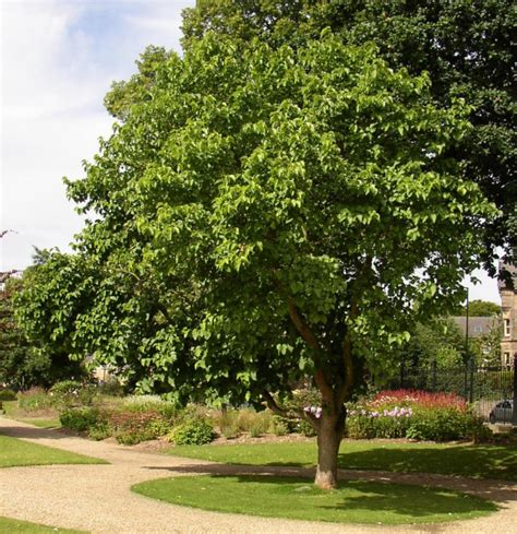 mulberry trees have great form and create wonderful shady