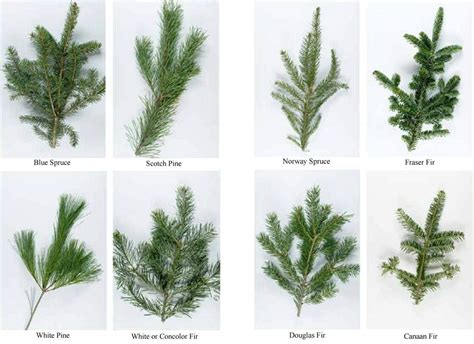 christmas tree types comparison how to choose a tree news recordonline middletown ny