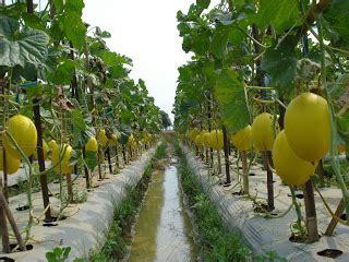 Bibit Buah Naga Klaten kumpulan budidaya budidaya melon