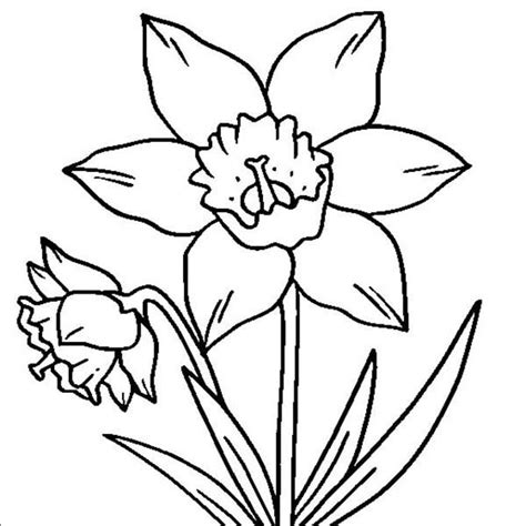 coloring pages daffodil flowers daffodil drawing clipart best