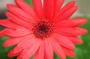 gerber daisy gerbera daisy pinterest