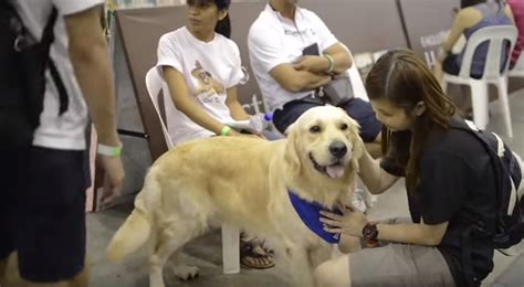 singapore pug club what happens when 116 golden retrievers get together a s