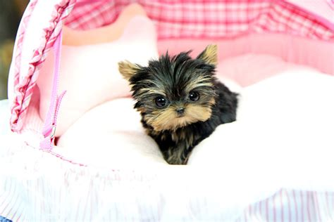 yorkie bows for sale teacup yorkies on teacup yorkie yorkie puppy and yorkie