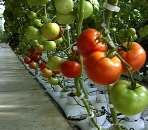 carbohydrates tomatoes home hydroponics the of carbohydrate