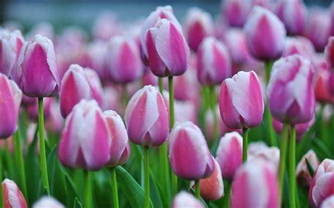 ci di fiori olanda scarica sfondi fiori tulipani fiori di co tulipani