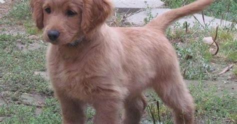 how much is a golden cocker retriever golden cocker retriever grown a puppy that looks like a puppy forever