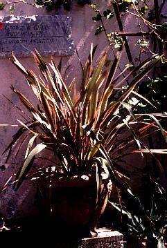 san marcos growers phormium maori queen