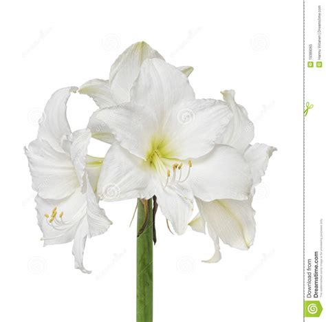 Tiff Bloom Bouquet By Velcris One white amaryllis flower royalty free stock photo image