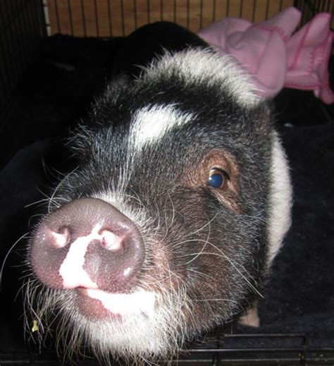 snuffles the pet a pot bellied pig with affinity for special needs children at the coastal