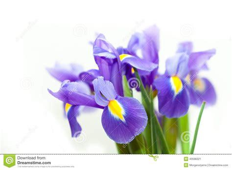 giglio viola fiore fiore viola blueflag giglio giallo immagine stock