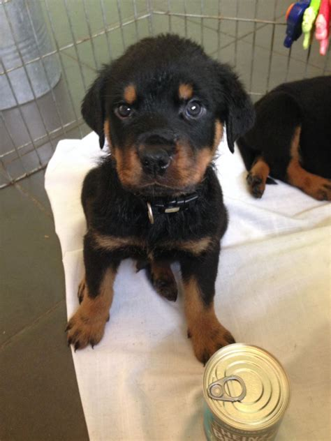 8 week puppy breed 8 week rottweiler puppies grays essex pets4homes