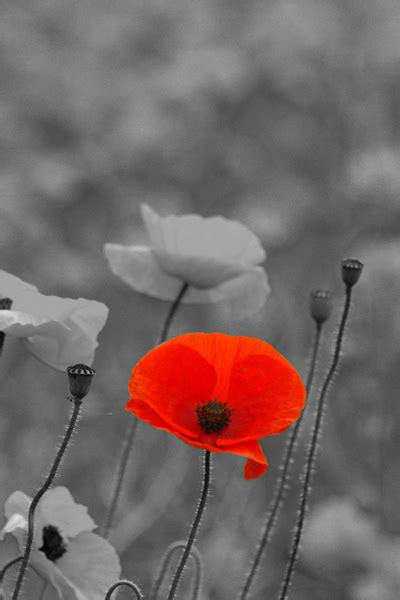 a poppy to remember esserealis