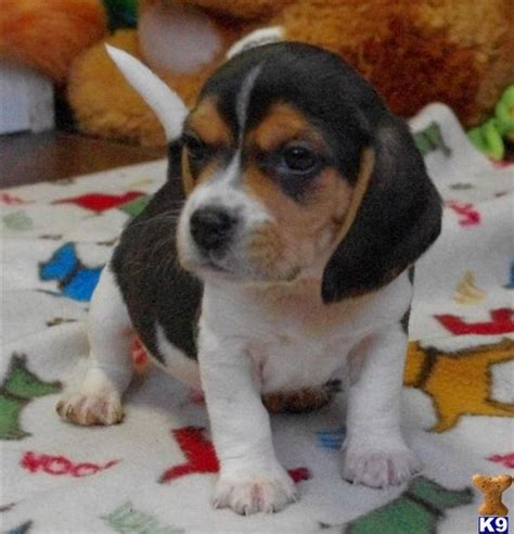 beagle mix puppies for sale beagle mix puppies for sale in illinois zoe fans puppies