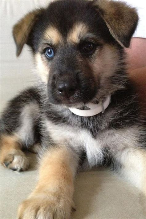 husky mix puppies 25 best ideas about german shepherd husky on german shepherd mix puppies