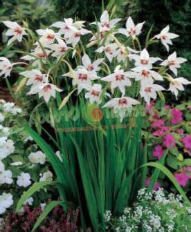 acquistare fiori acquistare en l 237 nea bianco i fiori da giardino gladiolo
