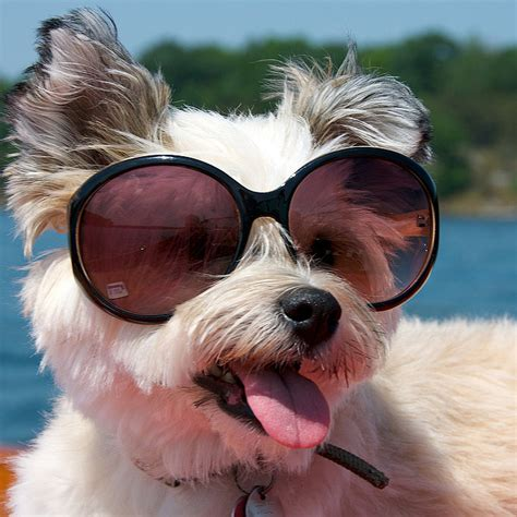 puppies wearing sunglasses pictures of dogs wearing sunglasses popsugar pets