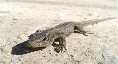 how to get rid of lizard in my room how to get rid of lizards in the house and garden 4 steps