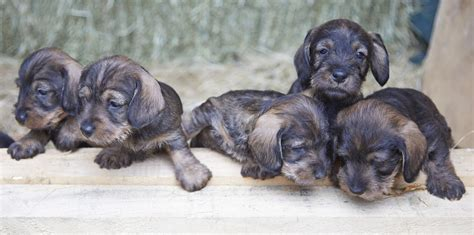wire haired dachshund puppies for sale mini wire haired dachshund puppies for sale malvern worcestershire pets4homes