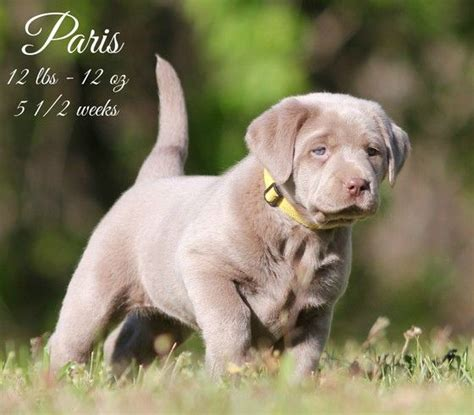 silver lab puppies for sale in tn 25 best ideas about chocolate lab breeders on chocolate lab puppies