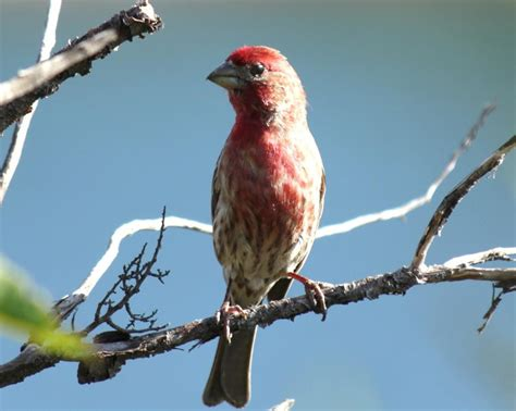 common house finch common house finch 28 images jeff wendorff nature and