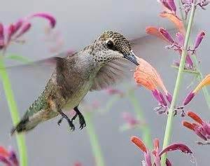 25 best ideas about red hummingbird on pinterest