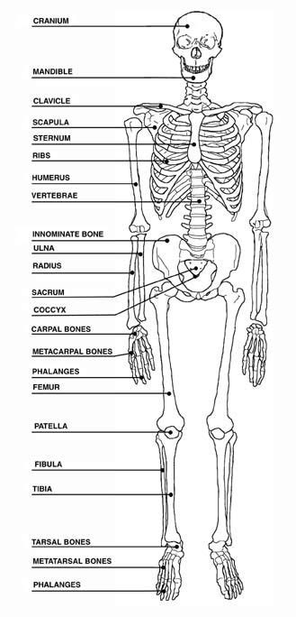 human bones diagram view size more human skeleton blank diagram pic 20