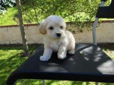 maltipoo puppies for sale in houston maltipoo puppies for sale in houston pups maltipoo puppies maltipoo