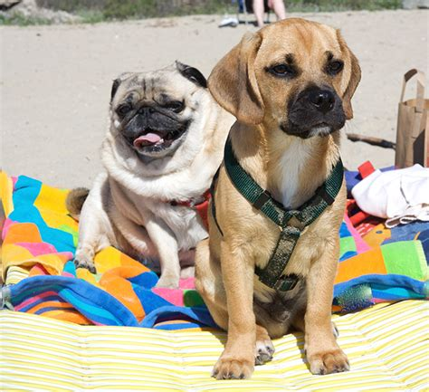 pug puggle puggle breed information pictures characteristics facts dogtime