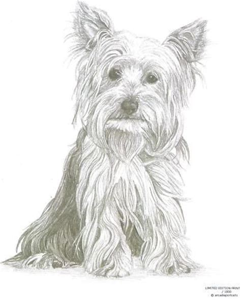 yorkie sketch terrier 1 yorkie limited edition pencil drawing print dogs
