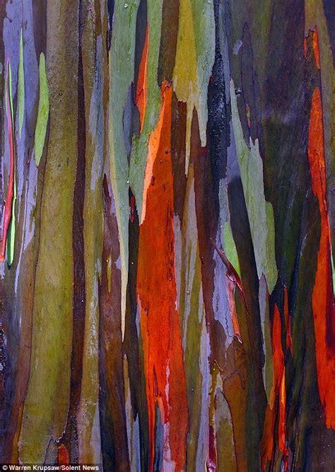 Rainbow Eucalyptus Tree   CSGlobe