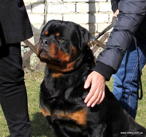 house for rottweiler quot from house rotvis quot rottweiler kennel ukraine