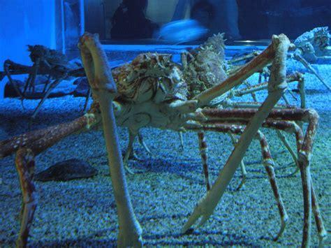 Japanese Spider Crab ? WeNeedFun