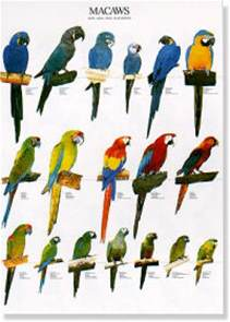 Different canary breeds besides english budgie parakeet additionally
