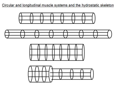 earthworm locomotion diagram earthworm locomotion