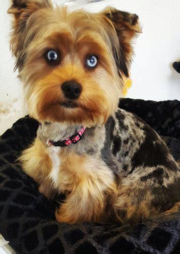 blue eyed yorkie merle yorkie history buckmar terriers