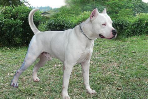 dunia anjing kennel dogo argentino de hitler kennel