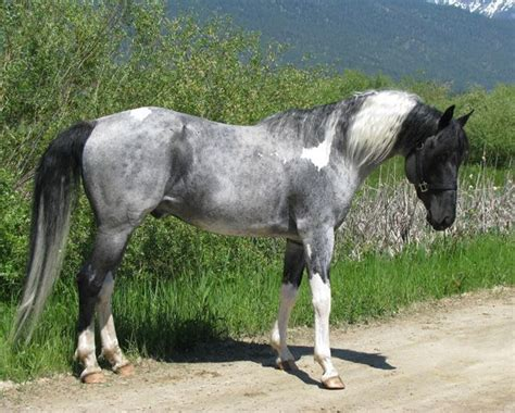 grey paint sles grey paint sles 174 best ideas about horses tobiano on